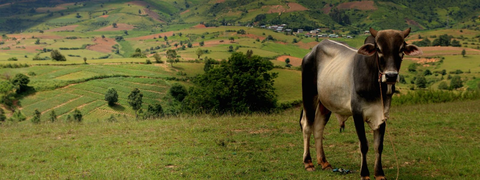 About Myanmar - Cow in Shan State - Myanmar - Sampan Travel