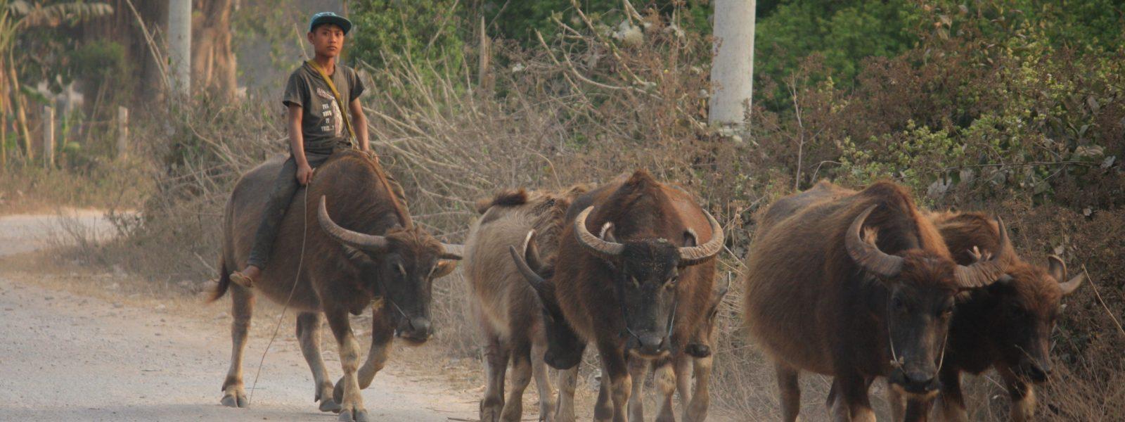 Hsipaw - young cowherd - Shan State - Sampan Travel