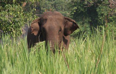 Elephants & Oozies - Elephant walking - Green Hill Valley, Kalaw - Sampan Travel