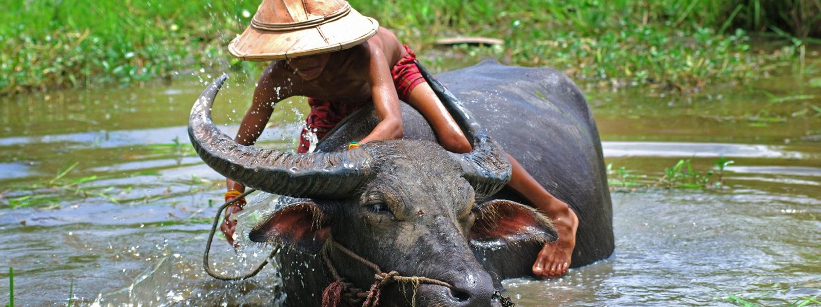 Sampan Travel - Boy and buffalo - Myanmar